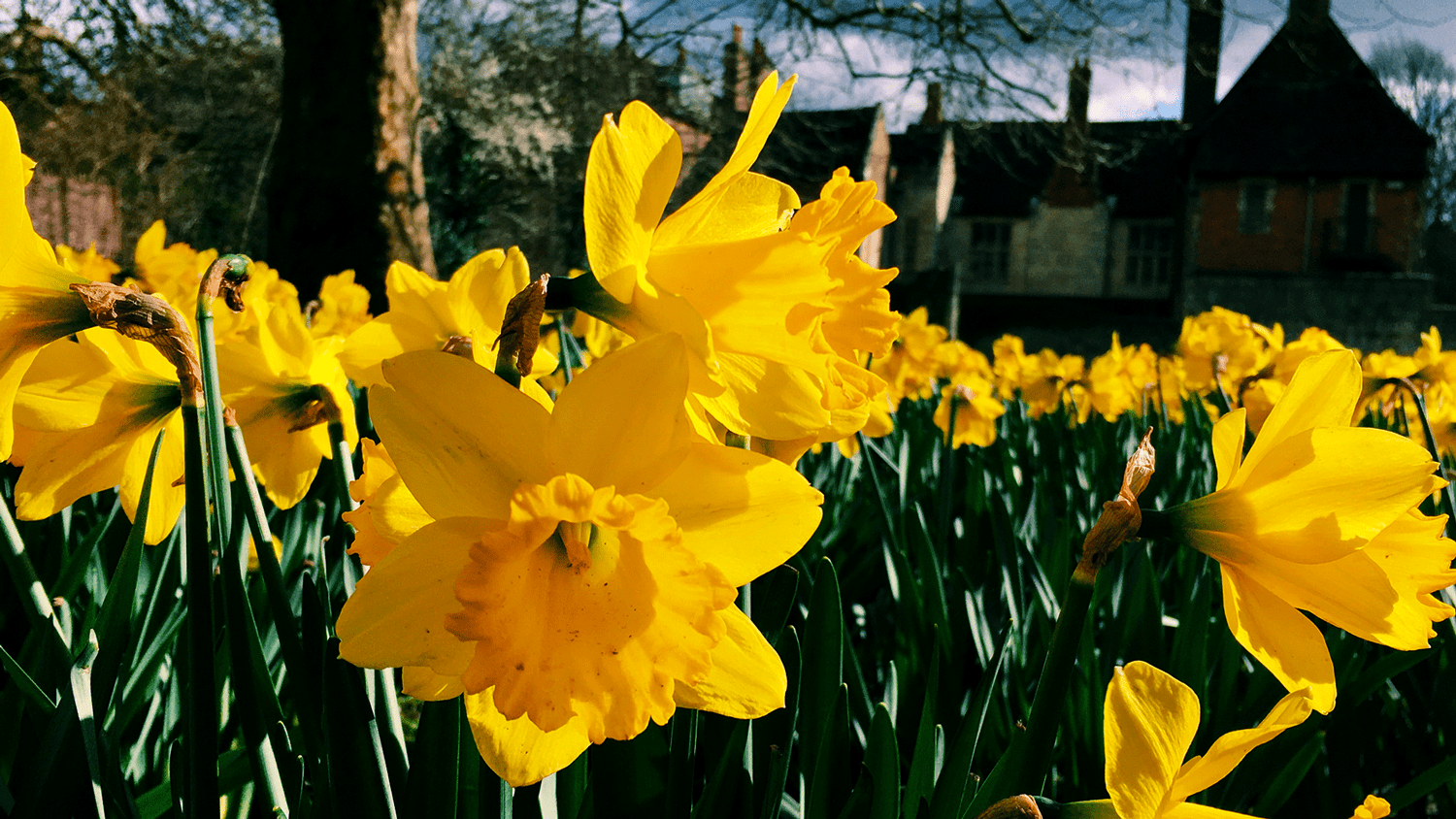 An image of some daffodils.